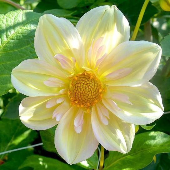 Apple Blossom (CO)