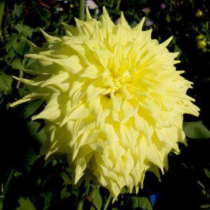 Penhill Yellow Queen